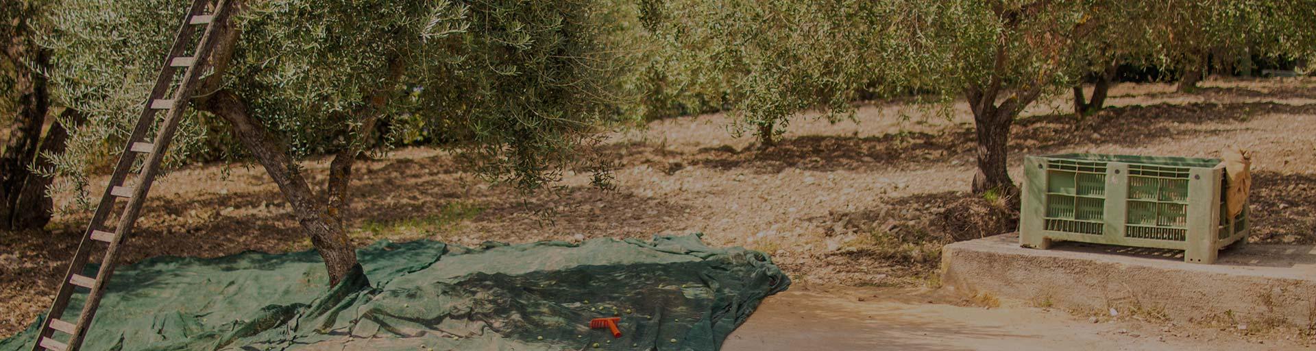 Das Leben hat uns Oliven geschenkt.
